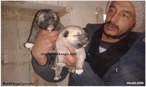 Kangal köpek yavruları kangal köpek fiyatları sahiplendirme ve